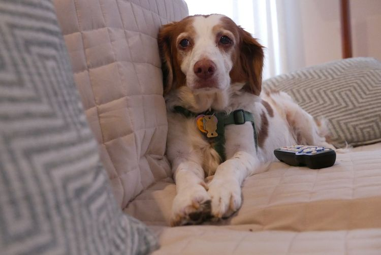 Patty has the remote ready for tv watching . Brittany ❤ Brittanyspaniel EyeEm Selects Pets Canine Dog Domestic Domestic Animals Mammal One Animal Animal Themes Furniture Indoors  Sofa Home Interior Relaxation Looking At Camera Portrait Sitting