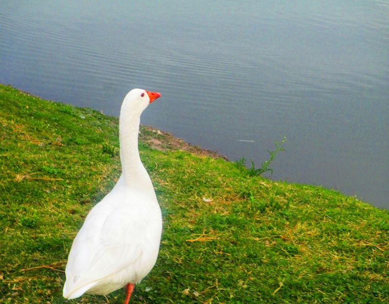 Cuack Cuack Duck Pato Gettyimages Animal Photography Ducks Lake Looking To The Other Side