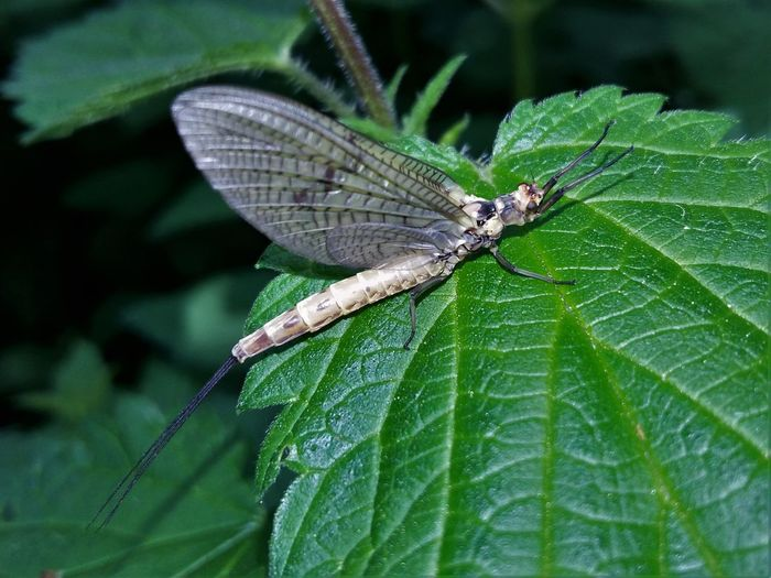 Animal Animal Antenna Animal Markings Animal Themes Animal Wing Animals Mating Beauty In Nature Close-up Day Focus On Foreground Green Green Color Growth Insect Leaf Mayfly Natural Pattern Nature No People Outdoors Plant Selective Focus Wildlife
