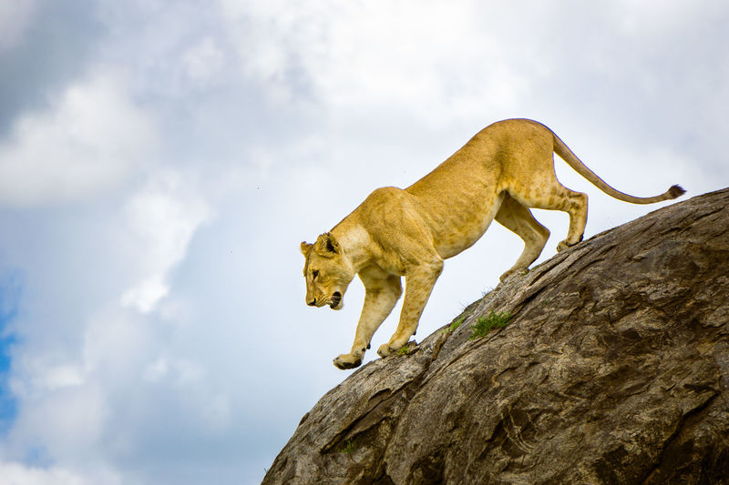 Africa Lion Lionness Serengeti Wildlife Wildlife & Nature Wildlife Photography Wildlifephotography