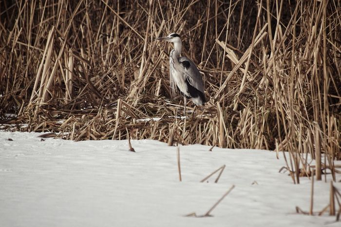 Showcase February 2018 Niklas Februari 2018 Grey Heron  Heron Winter Snow Cold Temperature Frozen Motion Sport Outdoors Nature Day