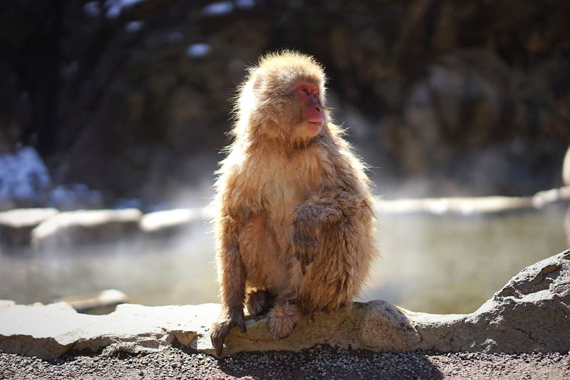 Japanese Macaque Sitting On Rock