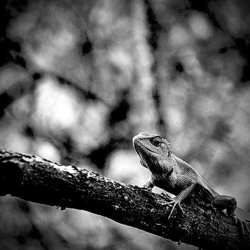 The lizard.
