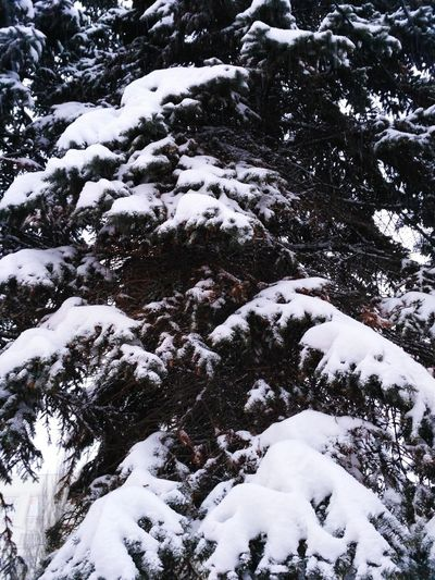 Snow Winter Cold Temperature Nature Beauty In Nature Tree Spruse Fir Branches Snowing Forest Forest Photography Forest Green Branches Shades Of Winter