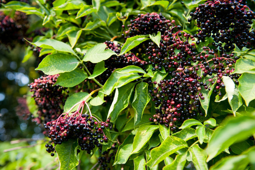 Elderberry fruits fresh clusters on plant and green lush foliage of shrub plant, berries are edible after cooking, photo taken in open air, horizontal orientation, nobody. Edible  Elder Elderberries Elderberry Foliage Food Fruit Fruiting Tree Fruits Nature No People Plant Poisonous Sambucus Sambucus Berries Sambucus Nigra Shrub Tree