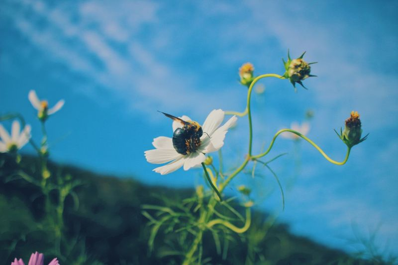 Bee loves Cosmos Flowers 😍😍😍 🐝🐝🐝 Flower Collection Pollen Naturelovers Nature Photography Cosmos Cosmos Flower Power In Nature Nature_collection Bee Bokeh Flower Flowering Plant Plant Beauty In Nature Fragility Animal Themes Invertebrate Freshness Animal Animals In The Wild Vulnerability  Insect Animal Wildlife Petal Growth Nature Flower Head Focus On Foreground Close-up One Animal