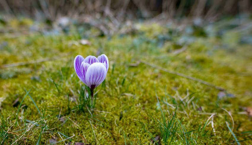 Plant Flower Flowering Plant Growth Freshness Beauty In Nature Fragility Vulnerability  Close-up Grass Land Field Nature Petal Pink Color No People Day Flower Head Inflorescence Focus On Foreground Iris Crocus Outdoors Springtime Purple