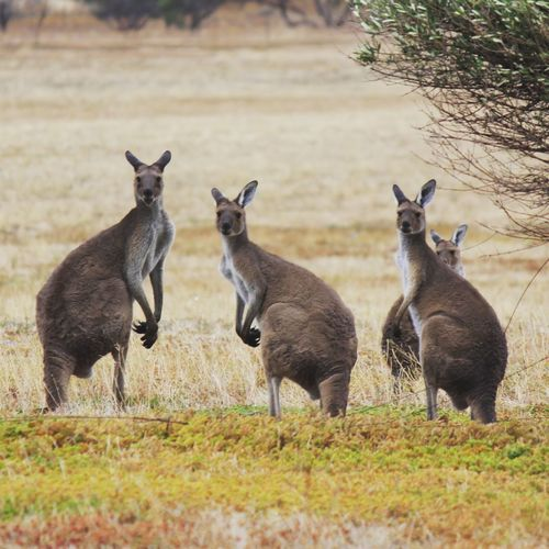 Tree Full Length Togetherness Grass Kangaroo South Australia Animal Family Group Of Animals