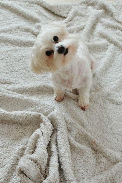 Olitangerine Maltese Puppy Doglover White Home Morning