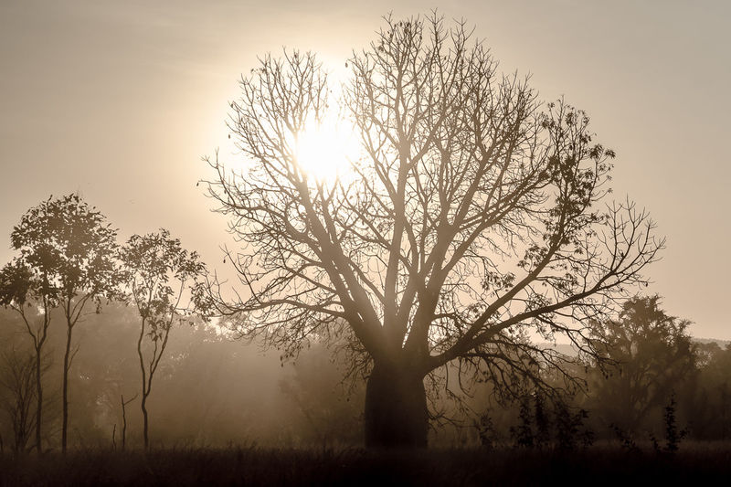 Boab Kimberleys Outback Western Australia Bare Tree Beauty In Nature Boab Tree Branch Day Dust Dusty Fog Grass Landscape Nature No People Outdoors Scenics Silhouette Sky Sun Sunlight Sunset Tranquility Tree The Week On EyeEm Paint The Town Yellow Lost In The Landscape