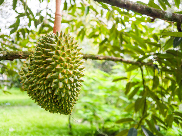 Durian Tree Nature Growth Green Color Outdoors No People Fruit Plant Day Beauty In Nature Freshness Close-up Durian King Of Fruit Durian Fruit Durian Tree Branch Green Color Nature Spiked Tree Growth Freshness Beauty Food