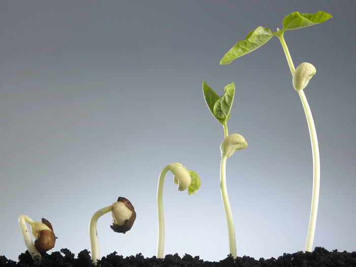 Growing plant in sequence isolated on gray background. Agriculture Growing Growth Life Nature New Life Origins Plant Sapling Seed Bean Beginnings Development Information Leaf Macro No People Plantation Progress Root Seedling Soil Still Life
