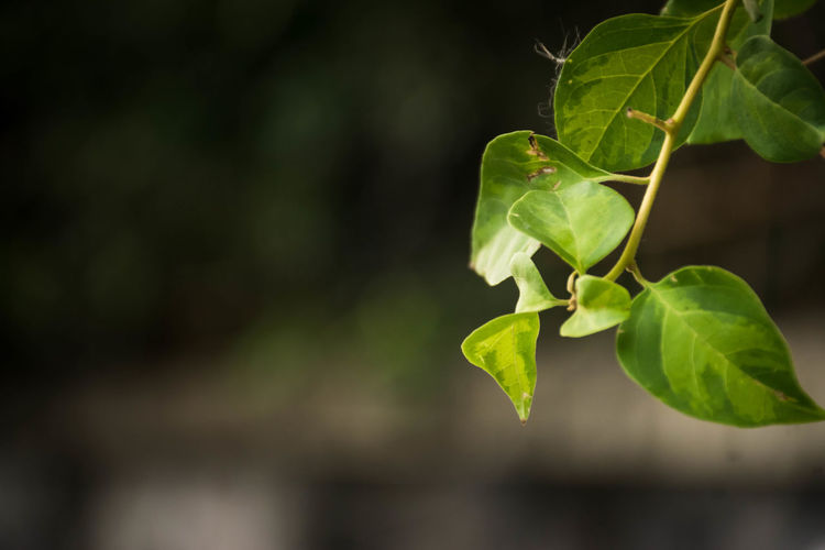 Close-Up Of Green Leaves Hanging Outdoors
