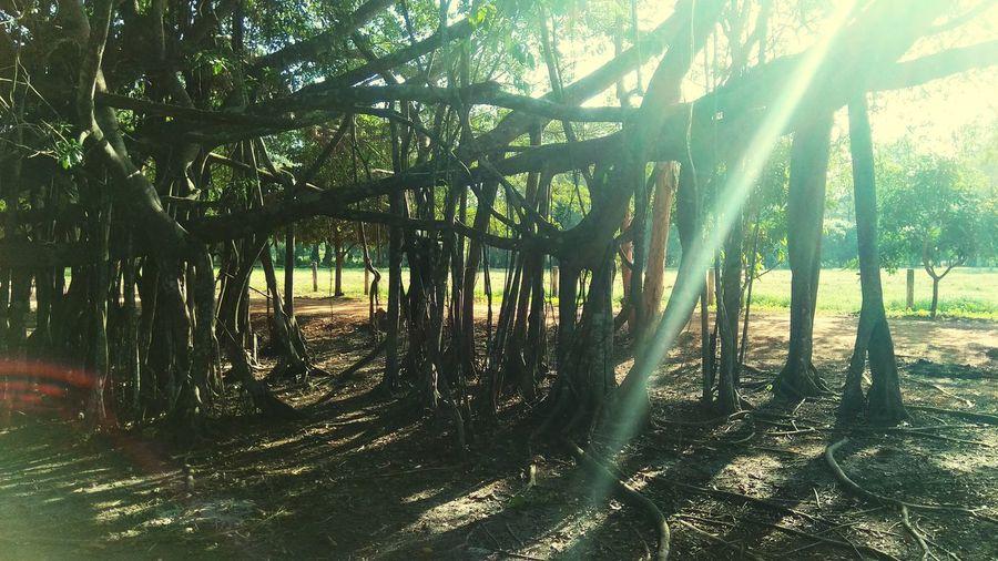 banyan tree Tree Shadow Sunlight Tree Trunk Bamboo - Plant Forest Sky