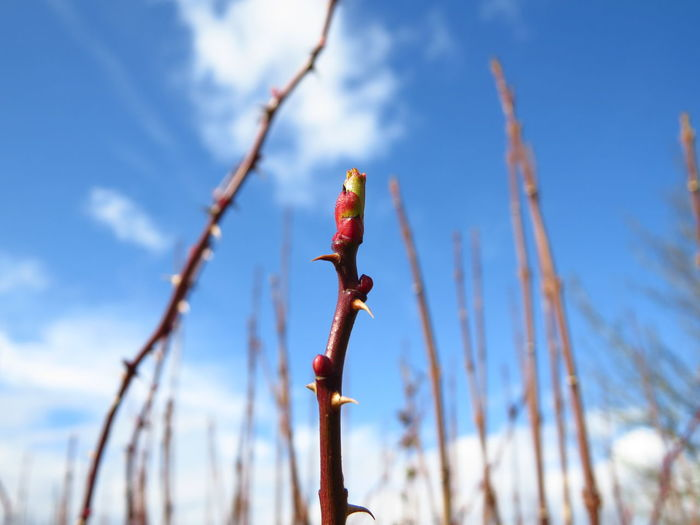Beauty In Nature Blooming Blue Blue Sky Blue Sky And Clouds Branch Bud Budding Close-up Cloud Day Flower Bud Focus On Foreground Growth Low Angle View Nature New Beginnings Outdoors Plant Selective Focus Sky Spring Springtime Thorns Thorny