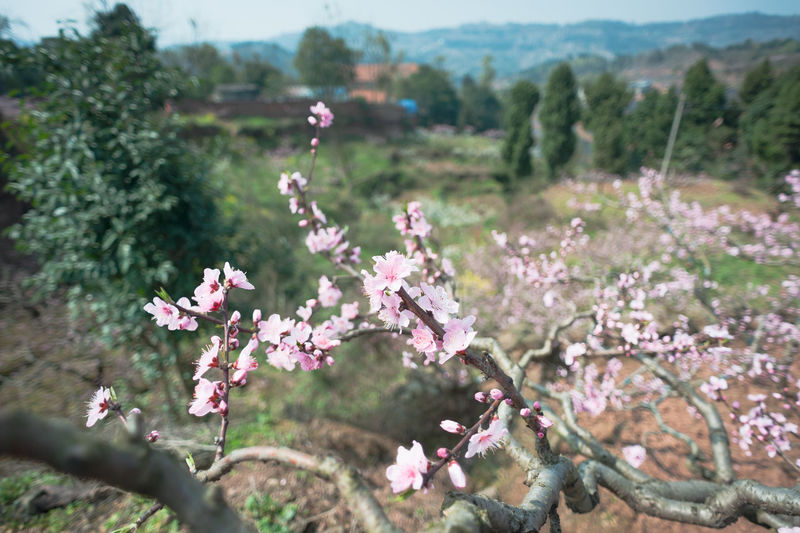 peach tree in village of Longquanyi Chengdu Plant Flower Beauty In Nature Flowering Plant Fragility Growth Vulnerability  Tree Freshness Nature Pink Color Focus On Foreground Day No People Close-up Land Field Outdoors Blossom Tranquility Springtime Flower Head Village Village Life Village View Peach Flowers Peach Blossom Peach Tree Pink Flower Spring Spring Flowers