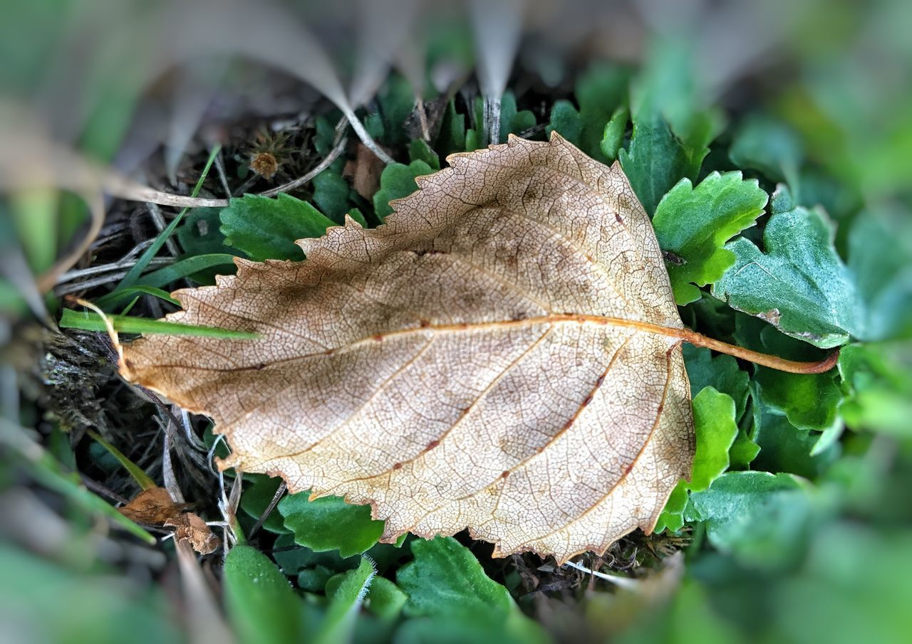 leaf, change, autumn, nature, green color, day, close-up, dry, outdoors, selective focus, no people, plant, beauty in nature, fragility, maple