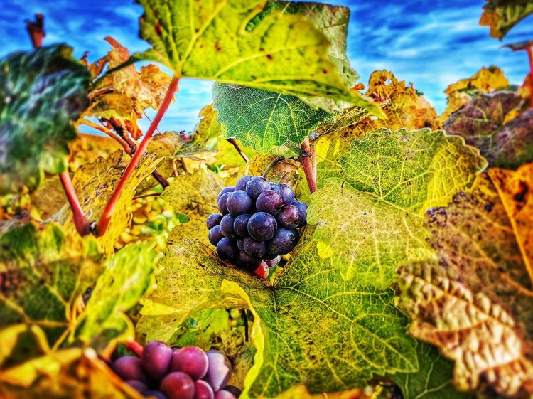 Fruit Growth Leaf Nature Close-up No People Food And Drink Plant Green Color Outdoors Beauty In Nature Grape Agriculture Freshness Day Food Sky