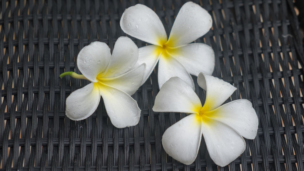 Beauty In Nature Blooming Close-up Day Flower Flower Head Fragility Frangipani Freshness Nature No People Outdoors Periwinkle Petal Plant White Color