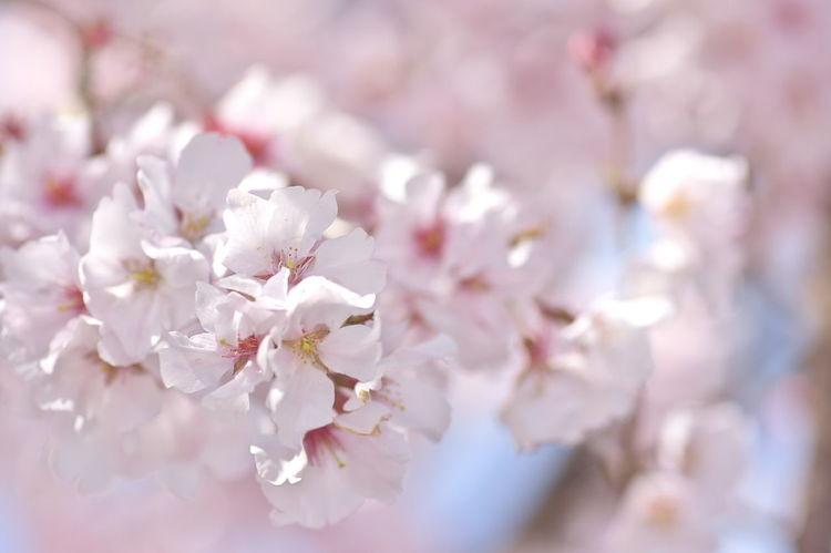 春 Cherry Blossoms サクラ 桜 Flower Head Tree Flower Branch Springtime Pink Color Blossom