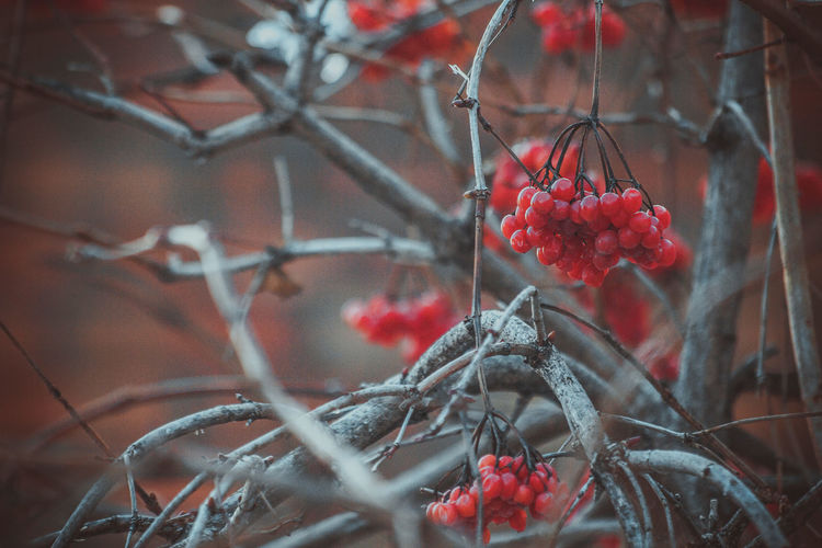 Close-Up Of Red Currants On Tree