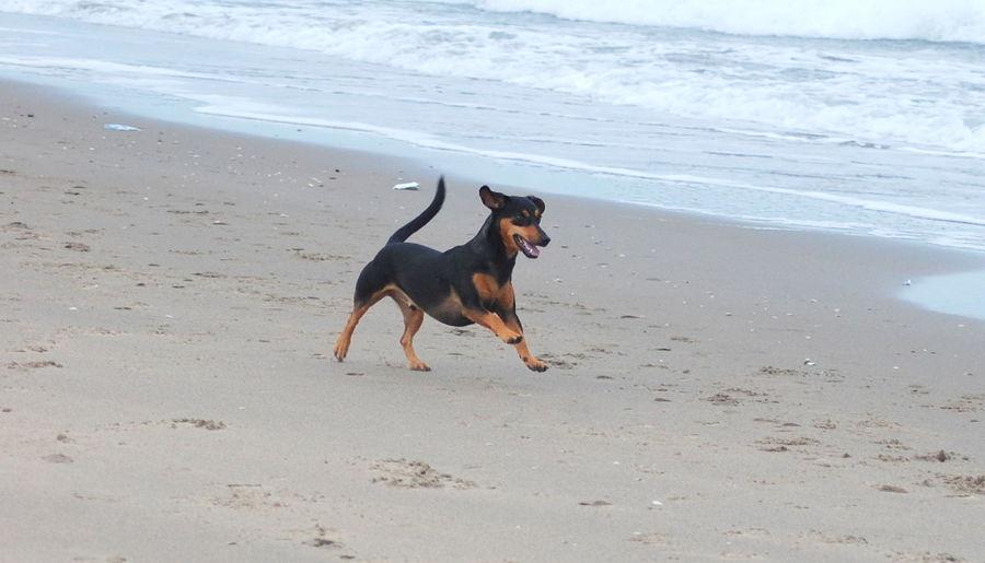 Joy Rescuedog Dog DogLove Love♡ Happy Spanish Dog Running Beach Dogs Life Dogoftheday Sea Family Freedom Rescuedogsarebest