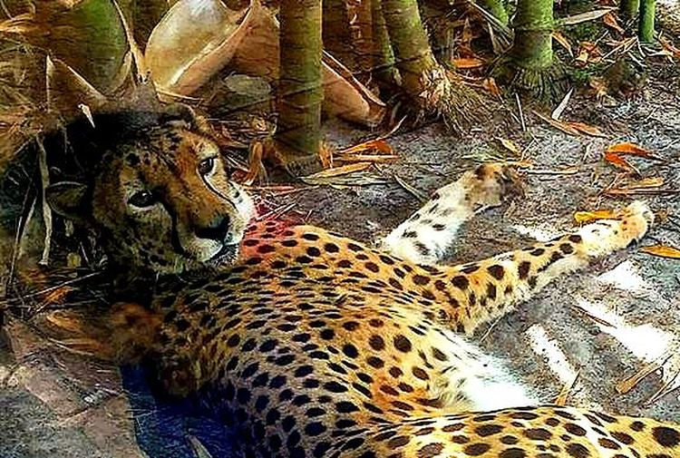 Animal Animal Themes Animals In The Wild Beautiful Creature Leopard Relaxation Safari Animals Wildlife