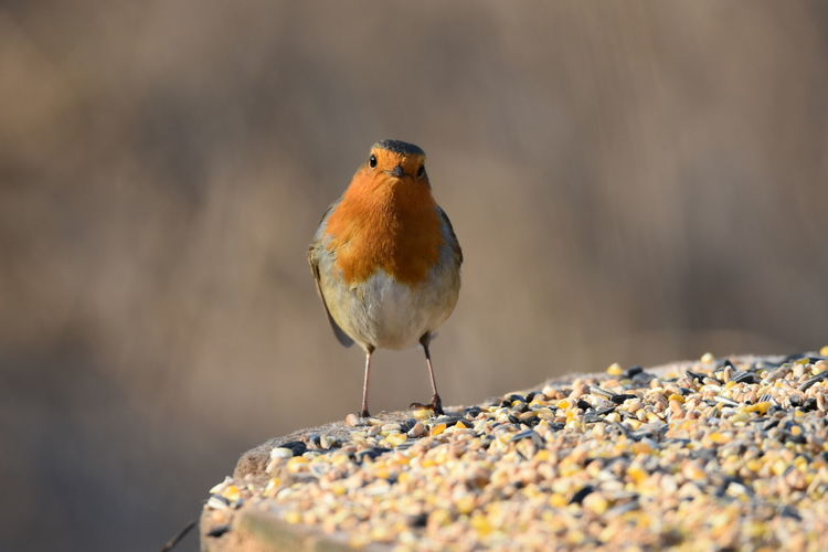 Robin Bird Living Organism Animal Wildlife Animal One Animal Animals In The Wild Multi Colored Perching Vibrant Color Nature Songbird  Animal Themes Beauty In Nature Focus On Foreground Close-up Eating No People Outdoors Sunbeam Portrait Rainham Marshes RSPB