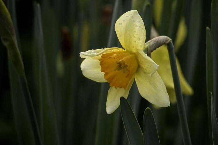 Close-up of yellow daffodil
