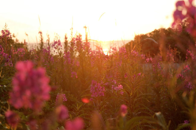 Beauty In Nature Close-up Field Flower Flowerbed Flowering Plant Freshness Growth Land Lens Flare Loosestrife Nature No People Outdoors Plant Purple Selective Focus Sky Sun Sunlight Sunset Tranquil Scene Tranquility Vulnerability