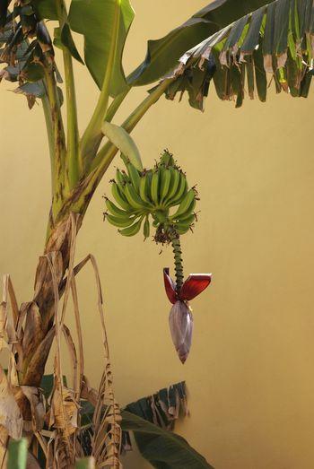 Nature Nature Photography Nature On Your Doorstep Nature Makes Me Smile The Photojournalist - 2016 EyeEm Awards Sardegna Check This Out Banana Tree Bananaflower Special👌shot Week On Eyeem Eye4photography  Eyem Best Shots Enjoying Life Taking Photos Hanging Out Close Up Nature