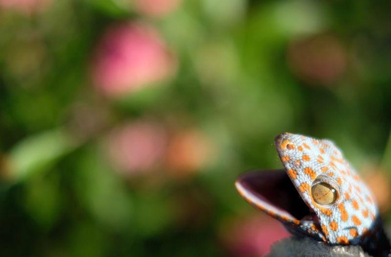 🦎 gecko Gecko