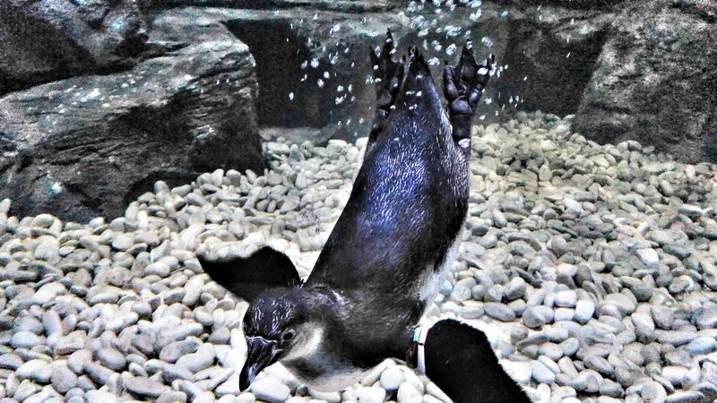 Humboldt Penguin Animal Themes Water Nature No People Beauty In Nature Aquarium Penguins Nature Makes Me Smile Humblodt Penguinswim PenguinsPark Animal_collection Animallovers Animalphotography Humboldt Penguin Penguin PenguinLove Naturelovers Underwater Swimming Animal