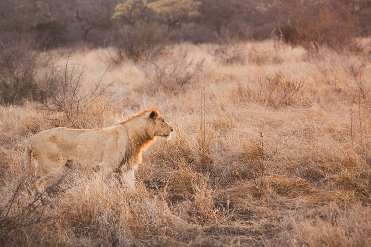 Lion at Hlane Royal National Park, Swaziland Animals In The Wild Grass Lion Africa Animal Themes Animal Wildlife Safari Animals Sundown Wild Wildlife Fresh On Market 2017