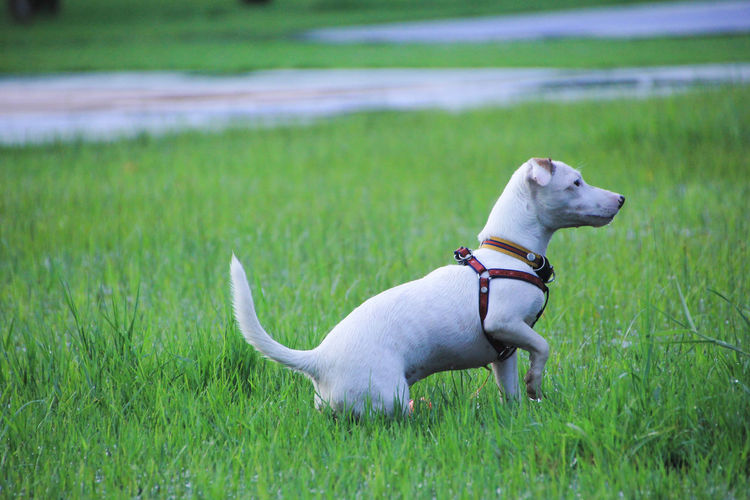 Pets Domestic Animals Domestic Grass Mammal One Animal Dog Animal Themes Canine Animal Plant Land Vertebrate Green Color Field Collar Pet Collar Nature No People Day Jack Russell Terrier