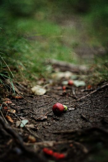 Autumn Apples Autumn Beauty In Nature Day EyeEm Nature Lover Eyeem Sweden Freshness Höst Kungshamn Natur Nature Naturelovers Non-urban Scene Outdoors Red Selective Focus Skogen Sotenäs Surface Level Svensk Natur Sweden Taking Photos Vildäpplen Wild Apples Woods