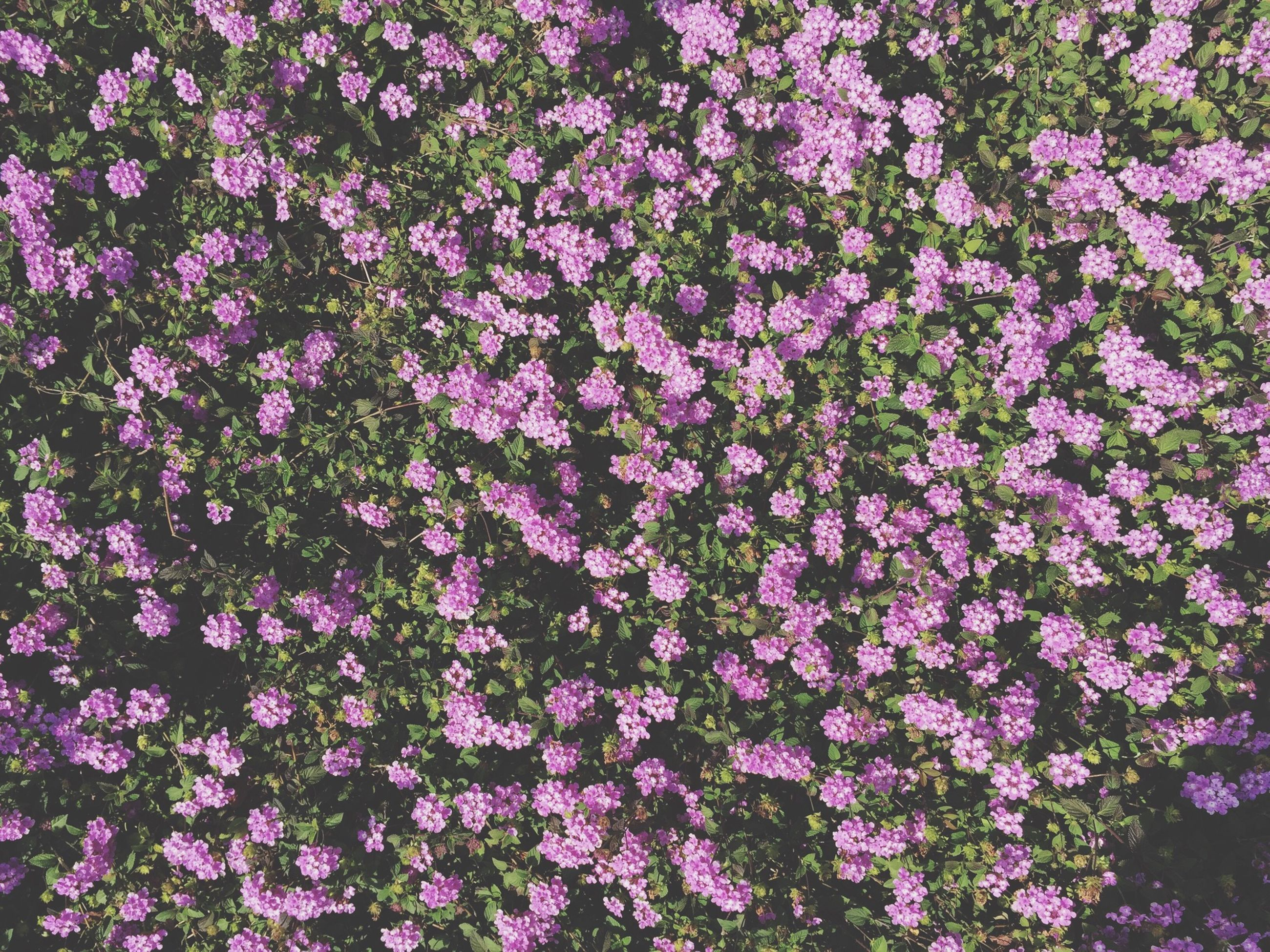 flower, growth, freshness, beauty in nature, fragility, nature, full frame, purple, petal, backgrounds, plant, blooming, pink color, abundance, high angle view, park - man made space, in bloom, outdoors, no people, field