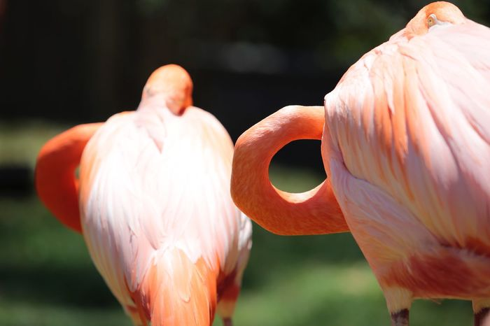 Feather  JGLowe Flamingo Focus On Foreground Flamingo Close-up Orange Color Pink Color Day No People Vertebrate Animal Wildlife Animal Nature Bird Animal Themes Outdoors Beauty In Nature Animals In The Wild Selective Focus