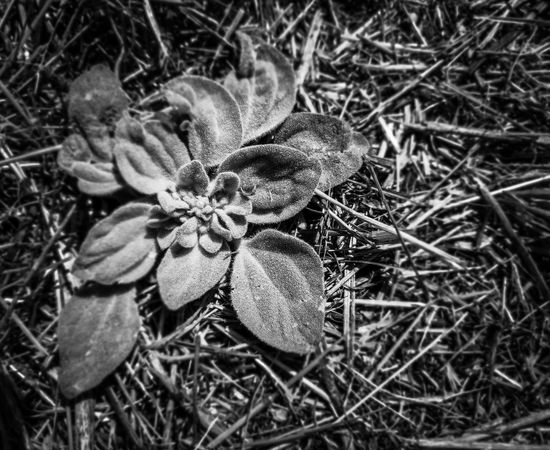 Blackandwhite Mullein Rosette  Close-up Grass Plant