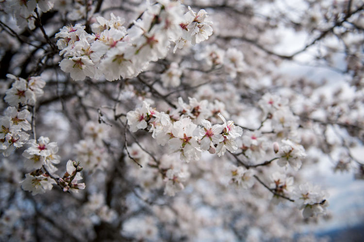Flowering Plant Plant Flower Freshness Fragility Tree Blossom Cherry Blossom Growth Branch Nature Springtime Cherry Tree No People Outdoors Almond Tree Almond Blossom Blooming Beauty In Nature Vulnerability  Day White Color Close-up Fruit Tree Twig Flower Head Pollen Spring