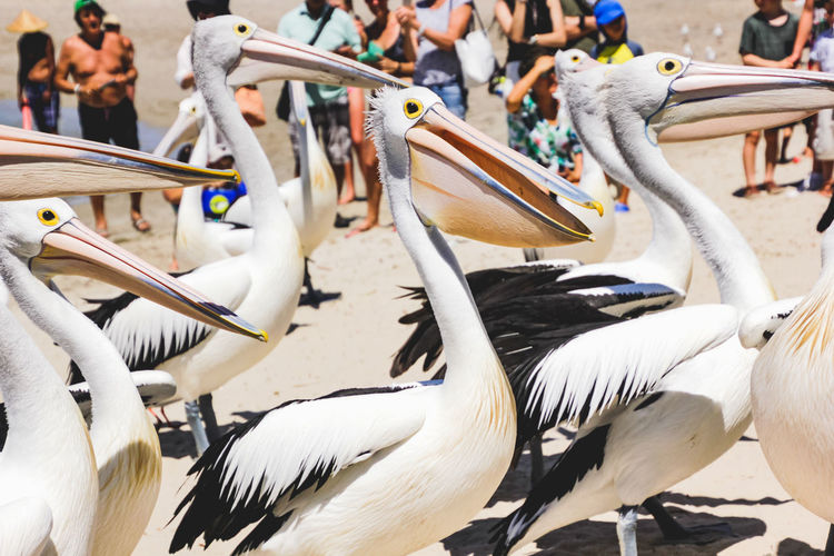 close up of pelicans at a local beach waiting for a regular feed by a local fish market Bird Vertebrate Animal Wildlife Animal Themes Animal Animals In The Wild Group Of Animals Focus On Foreground Day Incidental People Group Of People White Color Large Group Of Animals Nature Pelican Real People Beak Close-up Outdoors Crowd Flock Of Birds