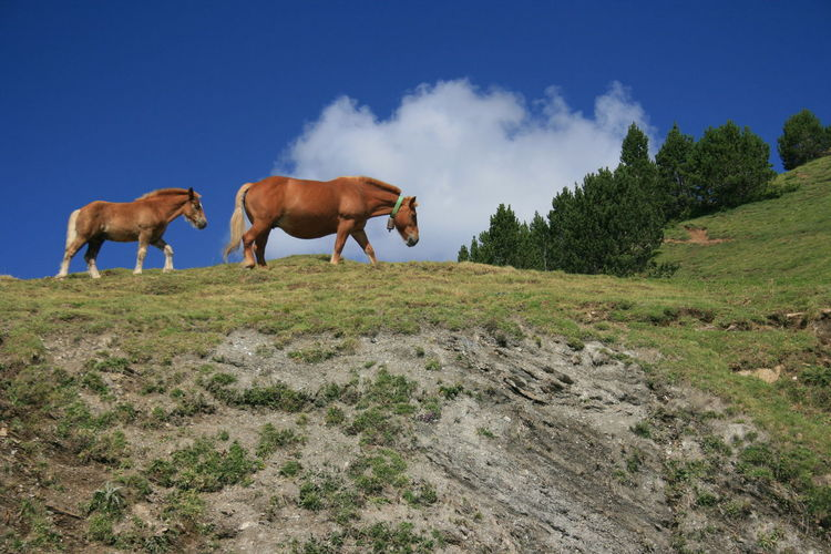 A mountain horse and her foal in natural environment. Andorra. Animal Animal Themes Domestic Domestic Animals Environment Field Grass Herbivorous Horse Land Landscape Livestock Mammal Mountain Horses Mountain Range Nature