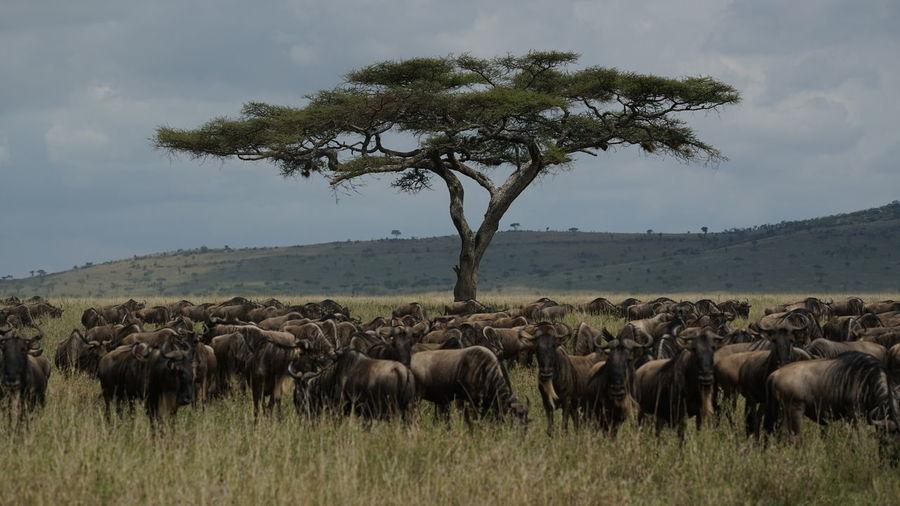 Wildebeests walking on grassy land