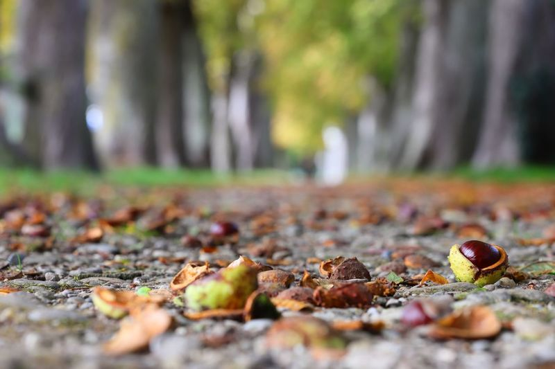 """Autumn"" Https://www.facebook.com/mh.photography.de/ Michael Hruschka Kastanienallee  Kastanien Leaves Laub Herbststimmung Herbst Way Avenue Chestnut Selective Focus Day Leaf Plant Part Autumn Tree Nature Close-up No People Falling"