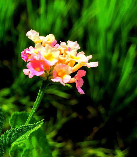 The beautiful Flower Lantana Camara First Eyeem Photo