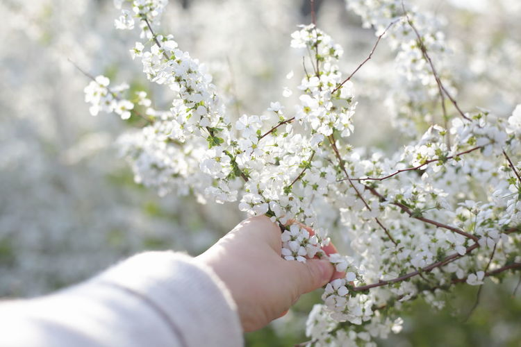 Low angle view of hand on cherry blossom tree