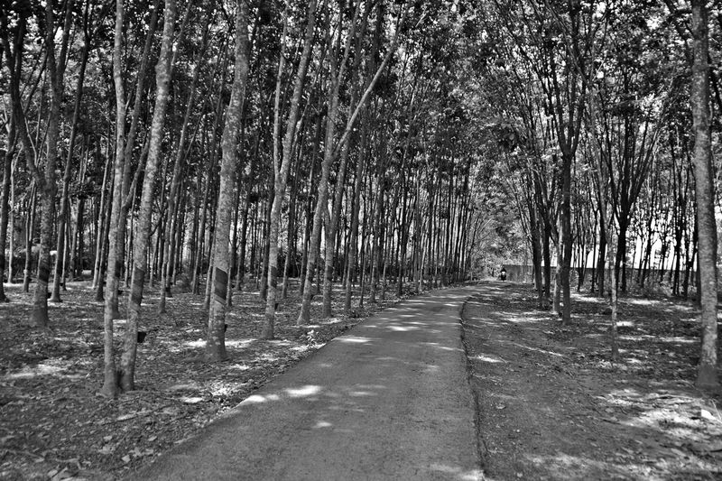 EyeEmNewHere Rubber Plantation Beauty In Nature Day Nature Outdoors The Way Forward Tranquil Scene Tranquility Tree