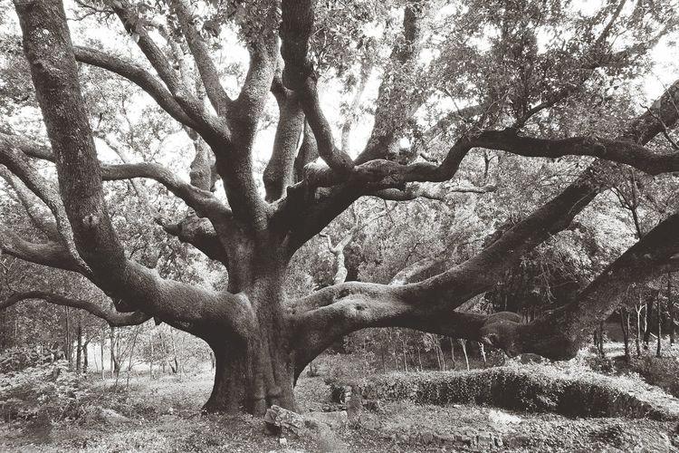 S'Ilixi 'e Dabbareddu Tree