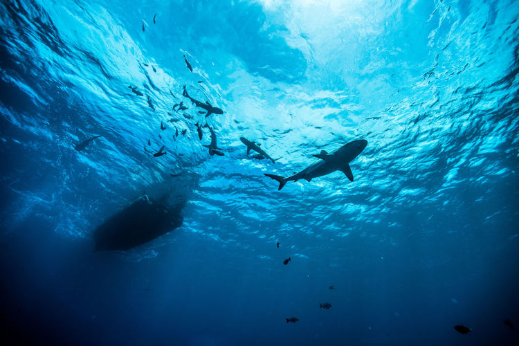 dance with shark Adult Adventure Animal Themes Animals In The Wild Beauty In Nature Blue Day Diving Flipper Exploration Leisure Activity Nature One Person Only Men Outdoors People Real People Scuba Diver Scuba Diving Sea Sea Life Swimming UnderSea Underwater Vacations Water