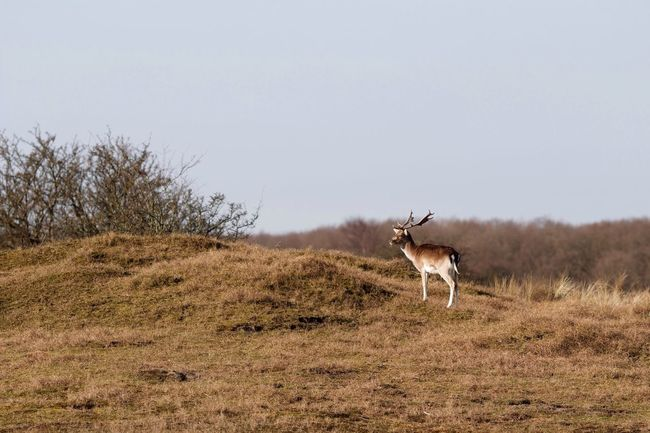 Stag Standing Alone Deer Fallow Animal Themes Clear Sky Animals In The Wild Nature One Animal No People Grass Mammal Beauty In Nature Day Outdoors Arid Climate Dunes